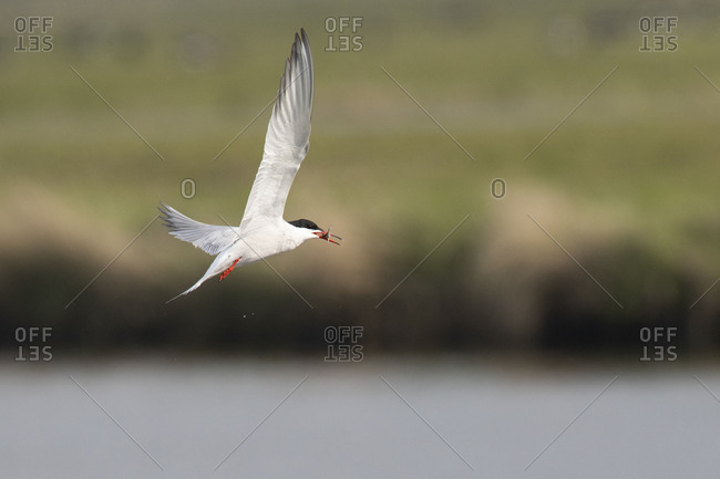 Common tern, tern, Sterna hirundo, in flight with prey
