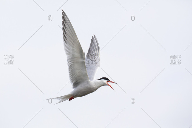 Common tern, tern, Sterna hirundo, in flight