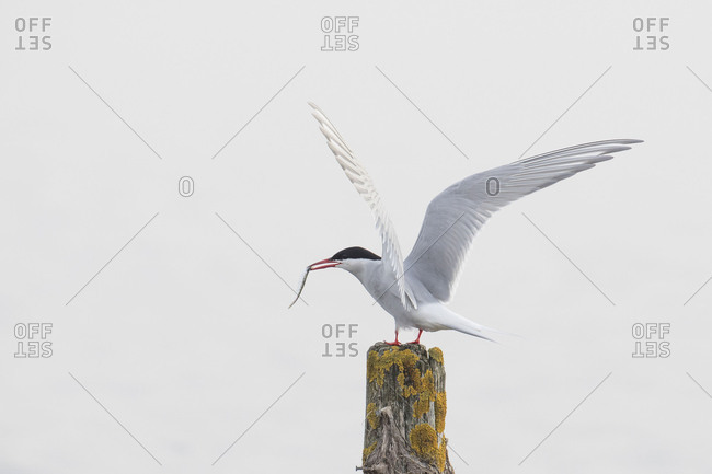 Common tern, tern, Sterna hirundo, with prey on stake