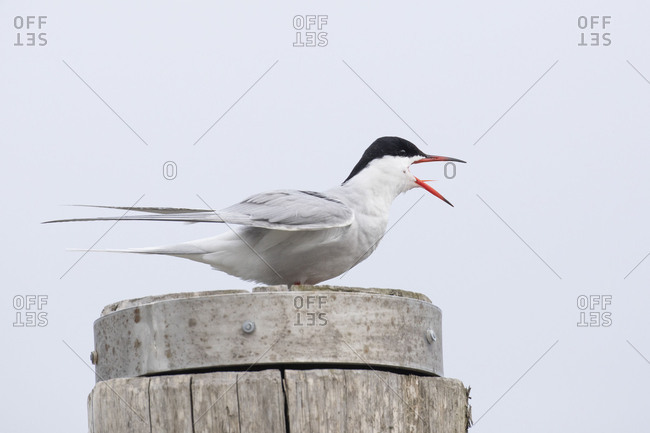 Common tern, tern, Sterna hirundo, crying on stake