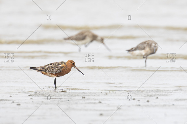 Bar-tailed Godwit, Limosa lapponica, male in a nuptial plumage