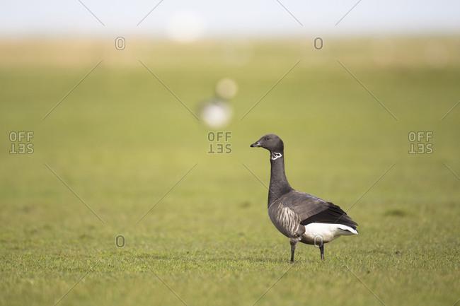 Brent goose, Branta bernicla