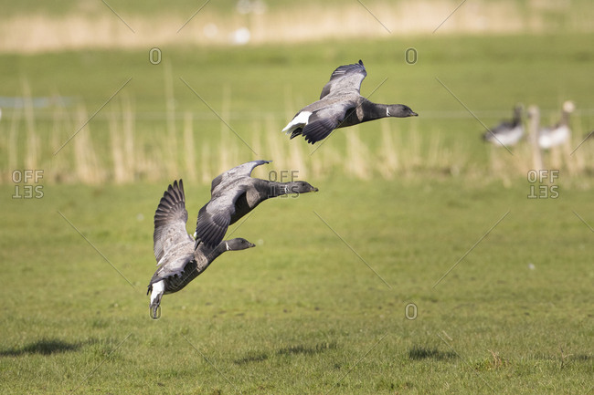 Brent geese, Branta bernicla, in flight