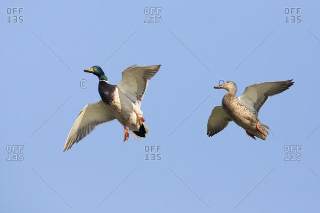Mallards, Anas platyrhynchos, couple landing