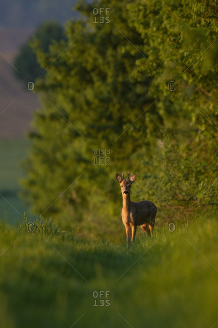 Roe deer, roebuck, capreolus capreolus, dirt road