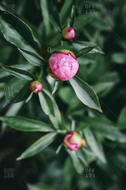 Peony in the morning light