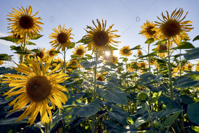 Sunflowers in the morning light