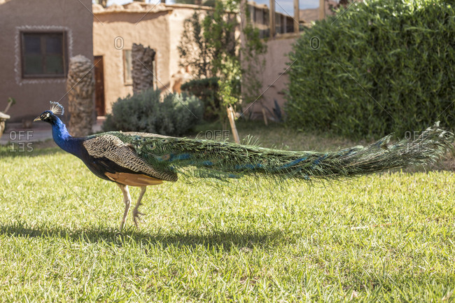 Morocco, Agdz, Peacock at the Hara Oasis Lodge