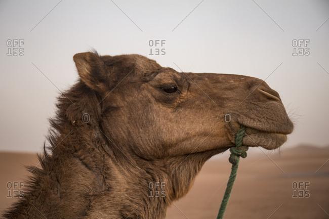 Morocco, Erg Chigaga, Sahara desert, camel ride