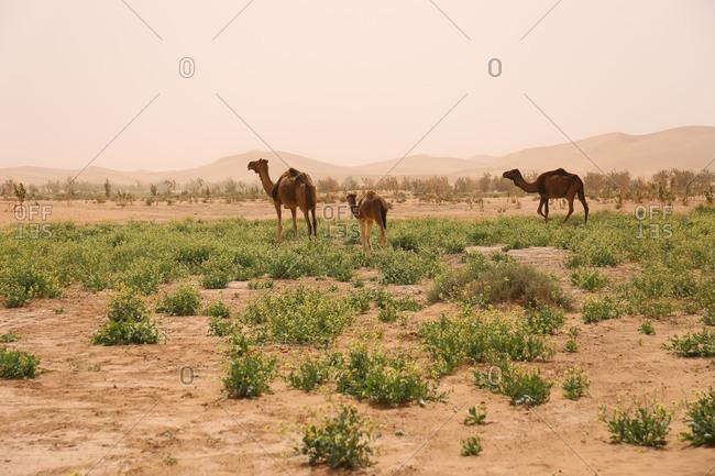 Morocco, Erg Chigaga, camels in the Sahara desert