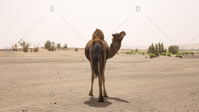 Morocco, Erg Chigaga, camel in the Sahara desert