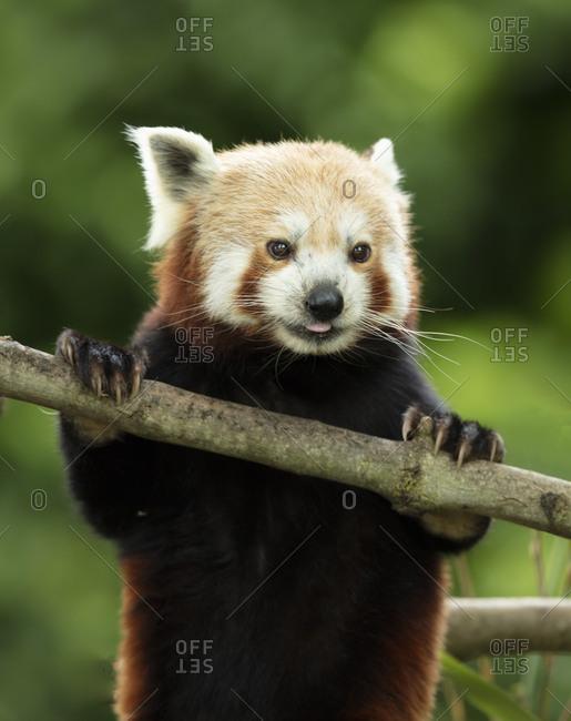 Very cute red panda, Ailurus fulgens