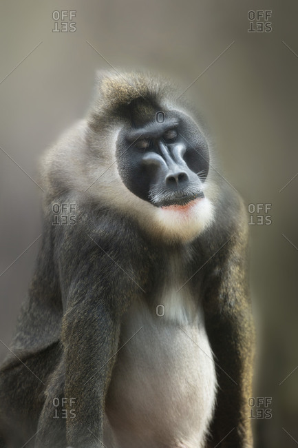 Male drill monkey, portrait, closed eyes, relaxing