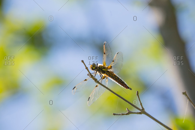 Dragonfly rests on a branch, blue sky background