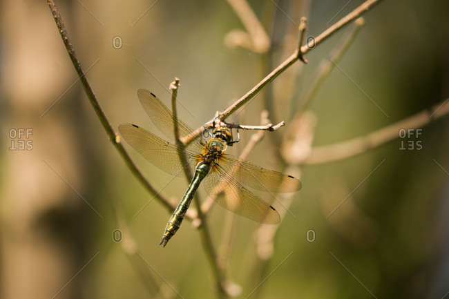 Dragonfly rests on a branch