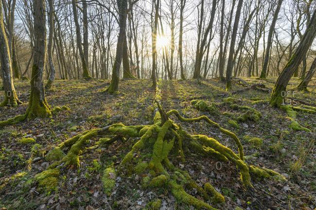 Fairytale forest at sunrise, Sodenberg, Hammelburg, District Bad Kissingen, Rhon, Bavaria, Germany