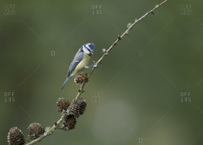 Blue tit on a stick looking very rock and roll small bird big attitude