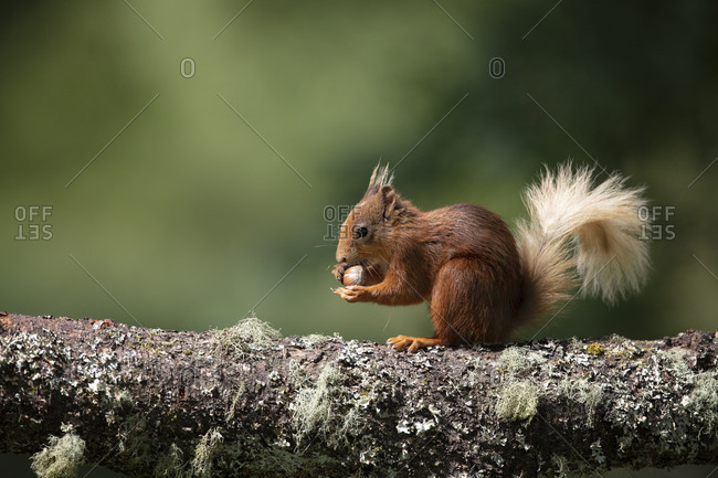 Cute red squirrel in Scotland near Glenshee