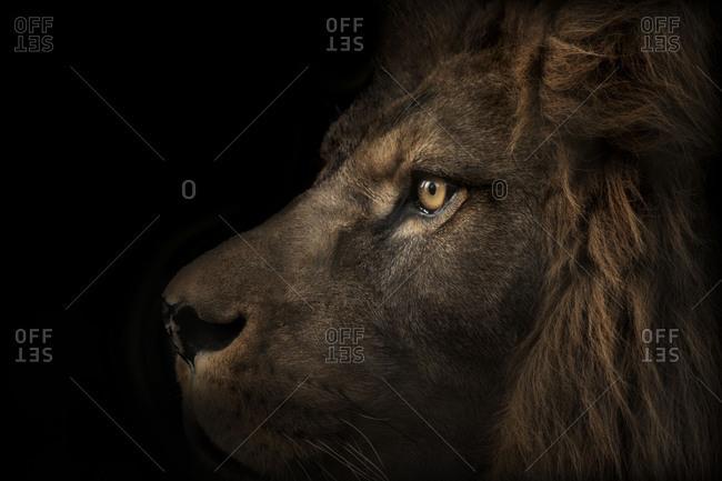 Majestic lion, side view, black background