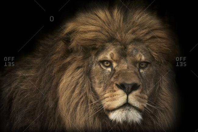 Majestic lion, black background