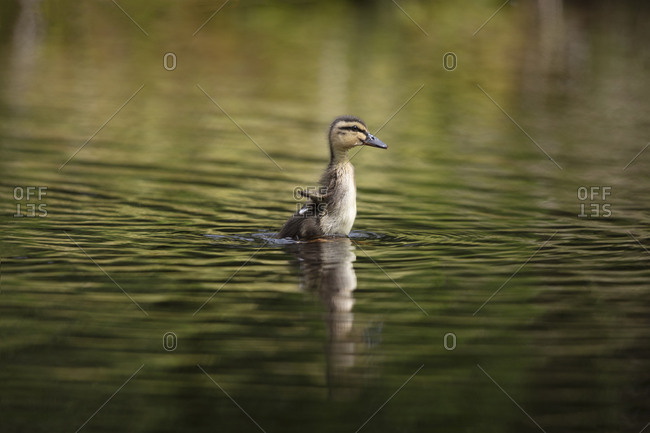 cute little duckling flapping very tiny wings