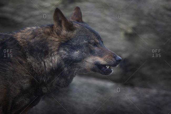 Dark wolf with textured background