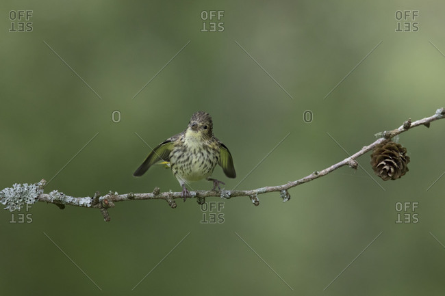 Tiny little siskin bird flapping its wings to be fed