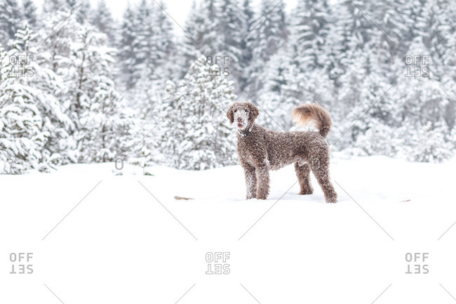 A brown king poodle waits where the snowball flies,