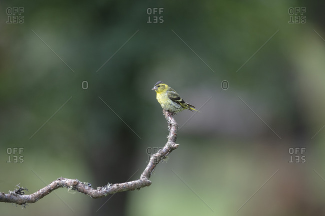Siskin on a stick, blur forest in background