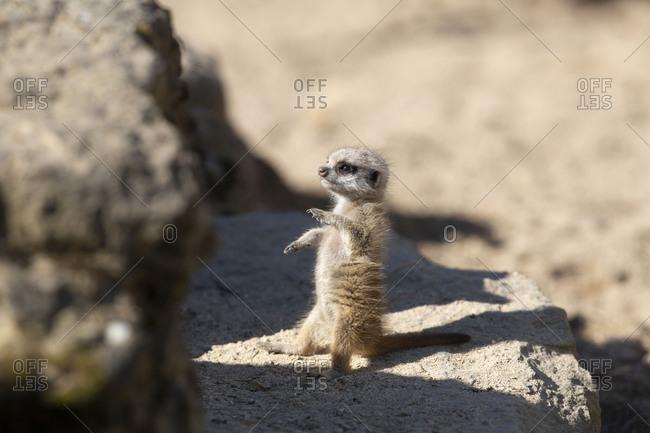 cute baby meerkat, Suricata suricatta