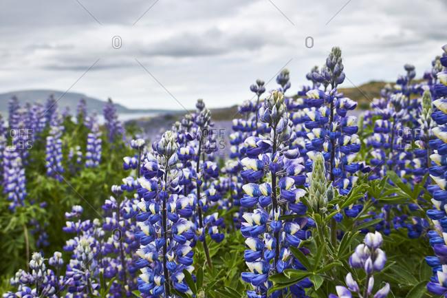 Iceland, lupins (Lupinus perennis) in summer