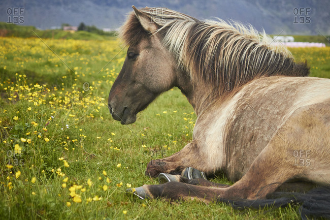 Icelandic horses resting on a field