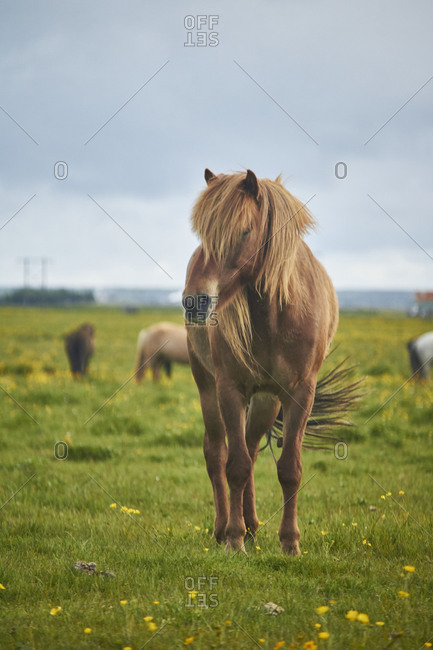 Icelandic horses standing on a field grazing