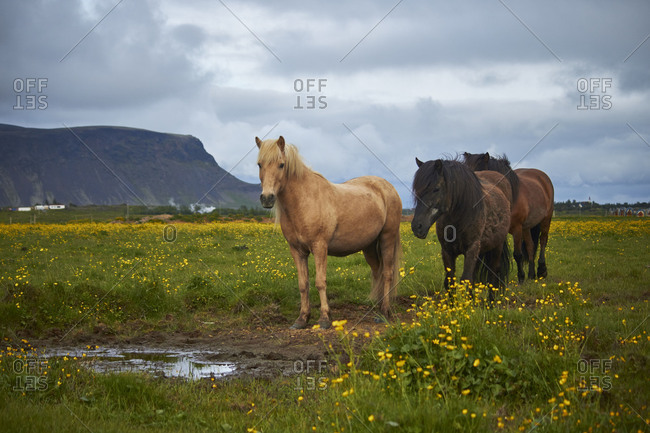 three Icelandic horses standing on a field