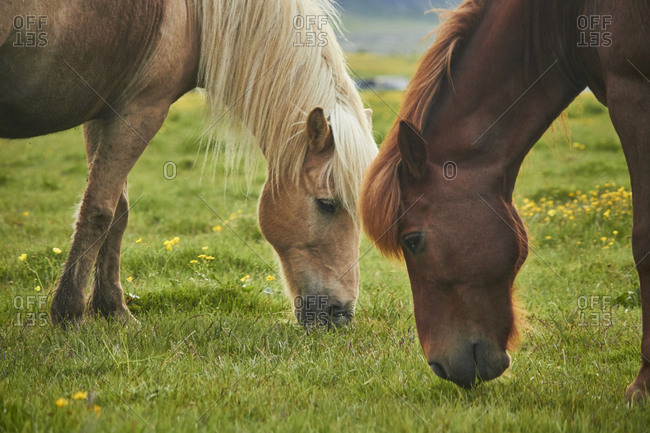 two Icelandic horses standing on a field grazing