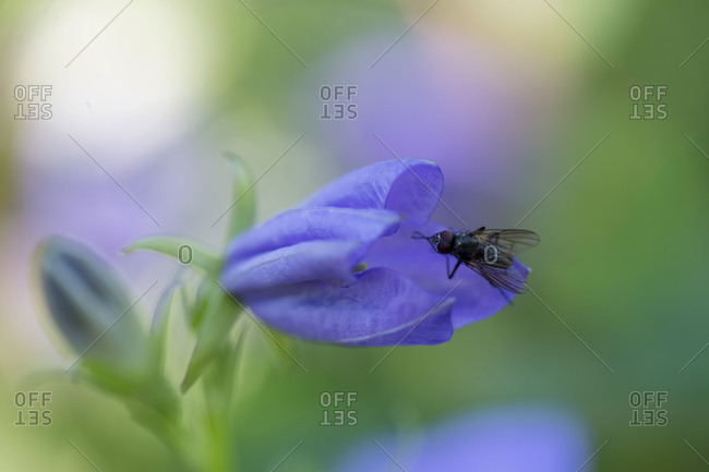 Bellflower with fly, Campanula persicifolia