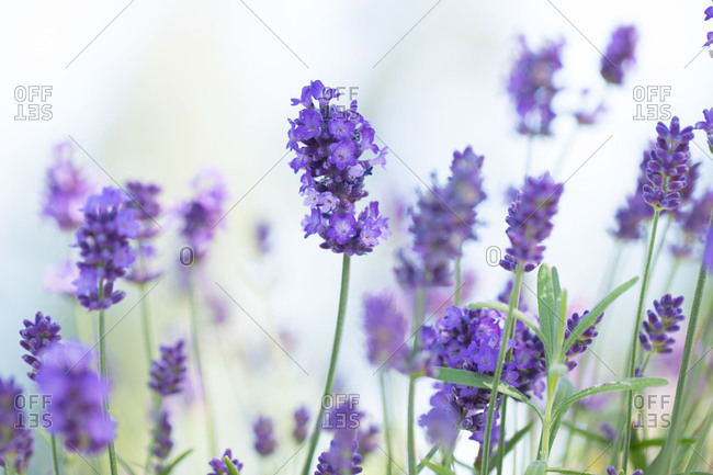 Closeup of a lavender, bokeh background
