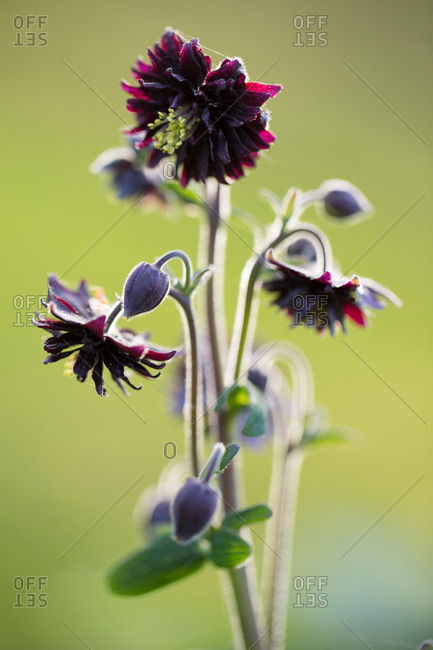 Dark perennial blossoms, nature green background