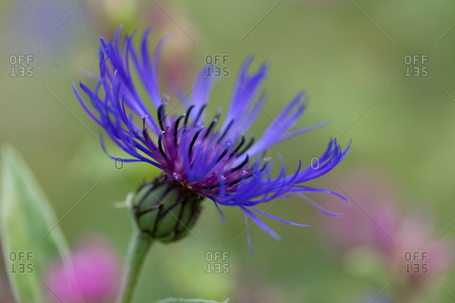 Delicate purple summer flower, nature bokeh background