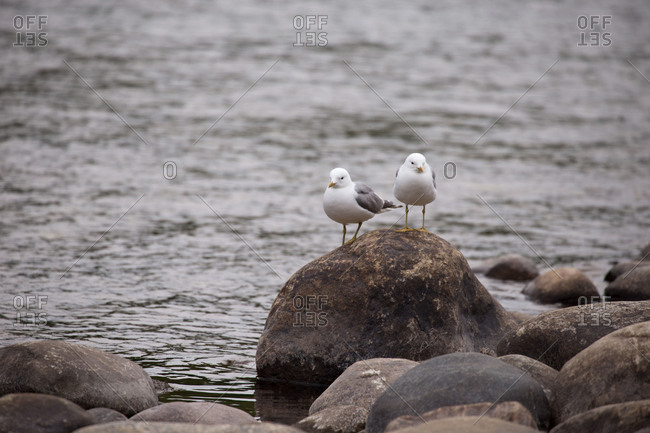 Gulls on the stone, The Teno, Lapland, Finland