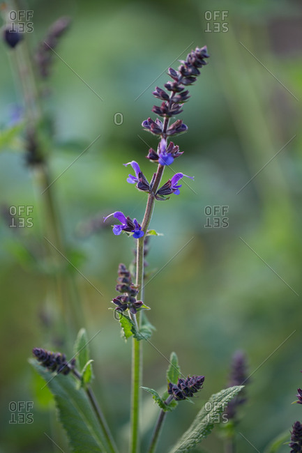 Purple perennial in the garden