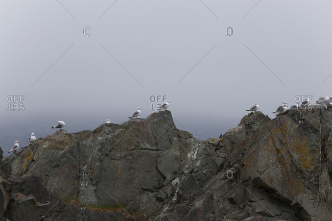 Seagulls sitting on the cliff, Kongsfjord, Finnmark, North Norway