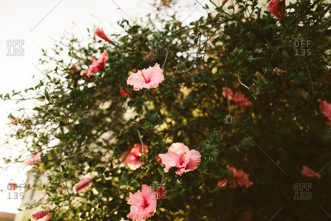 Hibiscus flower bush with bright pink flowers