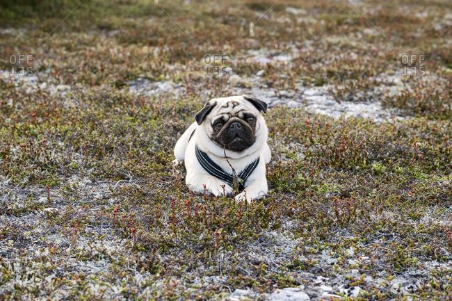Pug looking at camera - Offset
