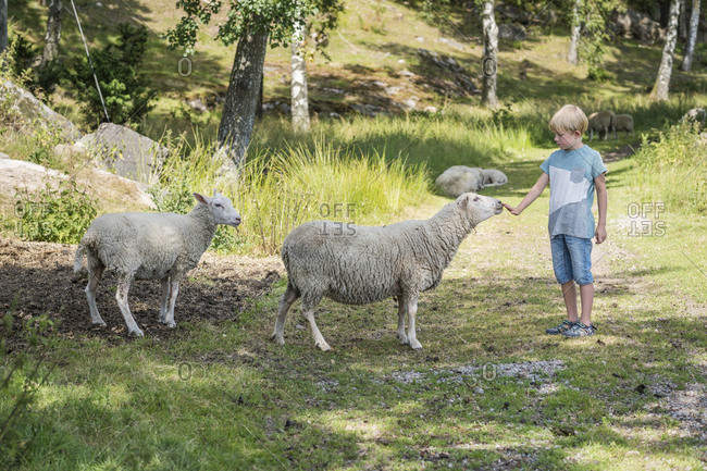 Boy stroking sheep
