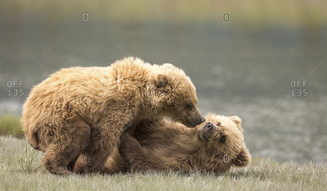 Young bears playing