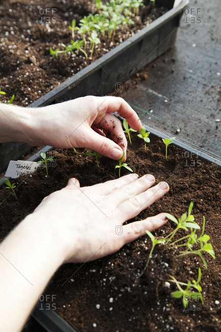 Hands planting small plants