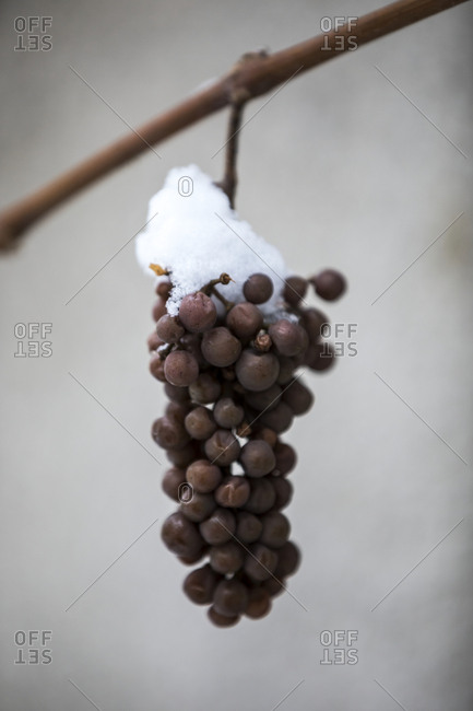 Snow on bunch of grapes