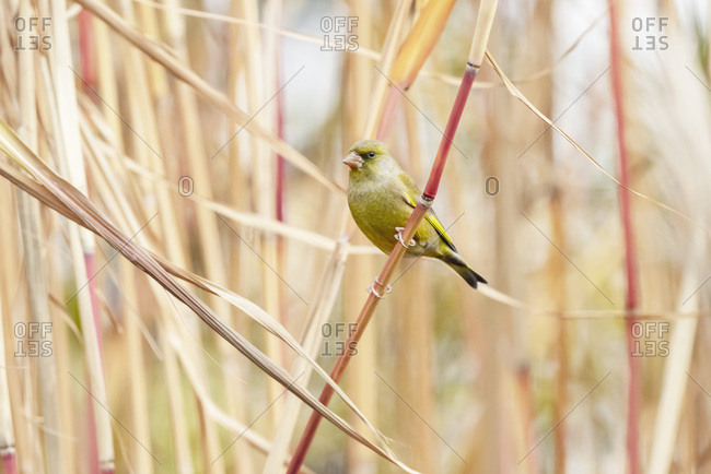 Small yellow songbird perched on a reed