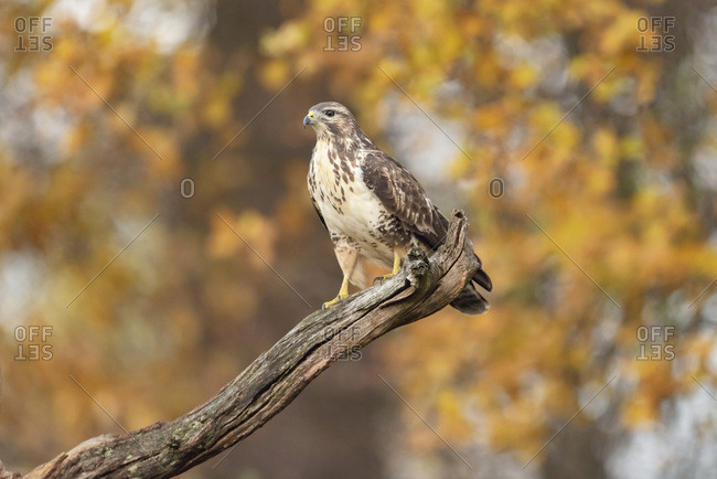 Juvenile hawk perched on a tree branch